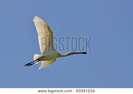 Spoonbill (platalea Leucorodia)