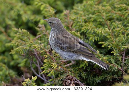 Water Pippit Resting On A Tree (anthus Spinoletta)