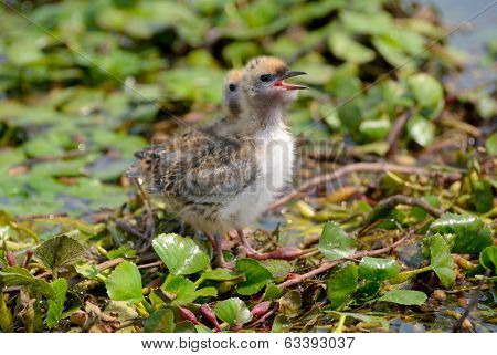 The Whiskered Tern. Birds With Chicks