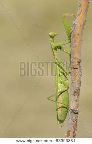 Insect Outdoor (mantis Religiosa) Going Up