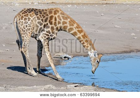 Giraffe And Kori Bustard Drinking Water