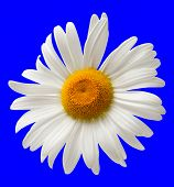 Chamomile Isolated On Blue Background