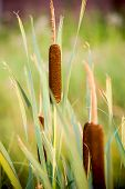 stock photo of bulrushes  - Typha latifolia bulrush common bulrush broadleaf cattail common cattail great reedmace cooper - JPG