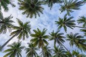 Coconut trees plantation, dynamic view from bottom