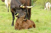 picture of longhorn  - Young Texas Longhorn calves in the pasture on a warm summer morning - JPG