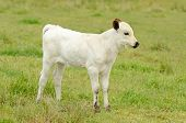 foto of longhorn  - Young Texas Longhorn calves in the pasture on a warm summer morning - JPG