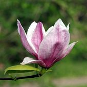 image of saucer magnolia  - Close - JPG