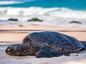 Sea turtle resting on the beach
