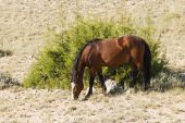 foto of open grazing area  - free roaming mustang mare in the Pryor Mountain wild horse range in Wyoming - JPG