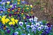 image of maxim  - The colorful of Pansy or Viola tricolor var hortensis name Blue  - JPG