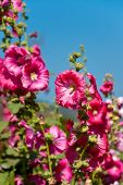 picture of hollyhock  - The pink hollyhock or Alcea rosea in the garden - JPG