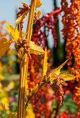 pic of quinoa  - The colorful Chenopodium quinoa tree in the farm - JPG
