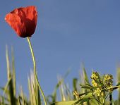 Silhouetted lone poppy on blue sky