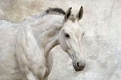 foto of horse face  - Portrait of beautiful white horse against the wall - JPG