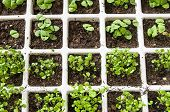 pic of origanum majorana  - Marjoram and basil in a white plastic greenhouses - JPG