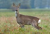 stock photo of peeing  - Photo of roe deer standing in a field and peeing - JPG