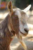 stock photo of cashmere goat  - domestic goat or billy goat close up showing beard - JPG