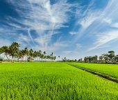Rural Indian scene - rice paddy field and palms. Tamil Nadu, India