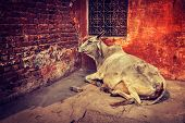 Vintage retro hipster style travel image of indian cow in the street of India - cow is considered a