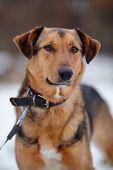image of mongrel dog  - Portrait of a shaggy mongrel - JPG
