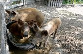 foto of trough  - pigs bathing in water in pig pen - JPG