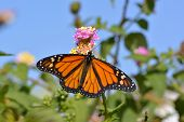 picture of heliotrope  - Butterfly feeding on the florets of flower Monarch - JPG