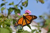 stock photo of heliotrope  - Butterfly feeding on the florets of flower Monarch - JPG