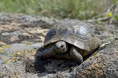 stock photo of centenarian  - Greek turtle  - JPG