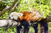 stock photo of panda  - A beautiful red panda lying on a tree branch sleeping stretched out with its legs hanging dangling down - JPG