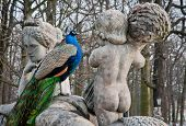 picture of polonia  - peacock in Lazienki Park  - JPG