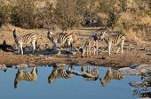 stock photo of moringa  - Zebras drinking water Moringa waterhole Etosha National Park Namibia - JPG