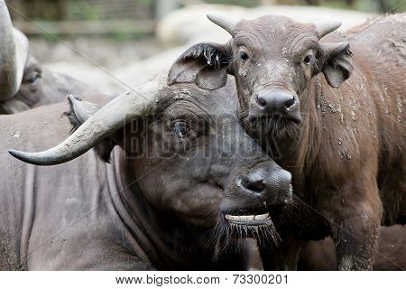 Cute Baby African Buffalo With It's Mother Frontal