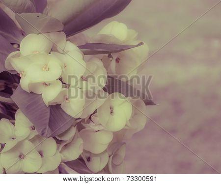 Yellow Euphorbia Milii Flower