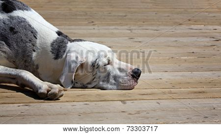 Great Dane snoozing on the deck in the afternoon sun. Space for your text.