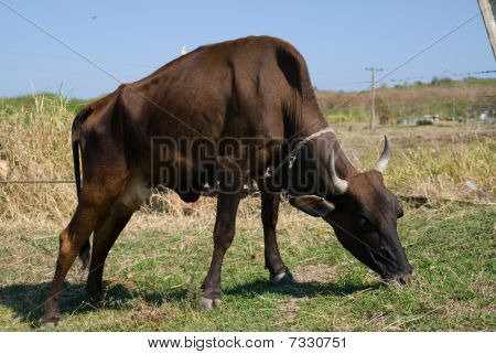 Black Bull Cow In A Farm (III)