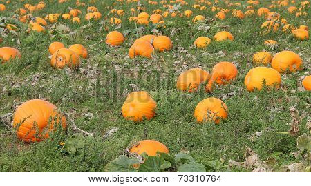 Pumpkin Plants.