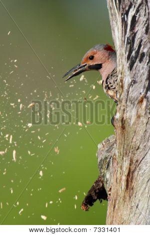 Woodpecker Building A Nest