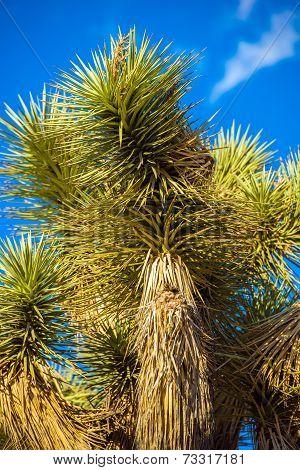 Joshua Tree Closeup