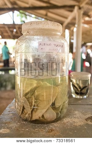 HABARADUWA, SRI LANKA - MARCH 11, 2014: Albino turtles in glass jar at Sea Turtle Farm and Hatchery. The center was started in 1986 and up to now they released more than 500,000 Turtles to ocean