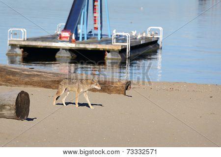 Urban Coyote Vancouver