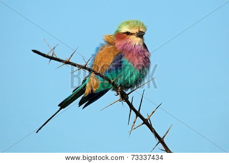 Lilac-breasted roller (Coratias caudata) perched on a branch against a blue sky, South Africa