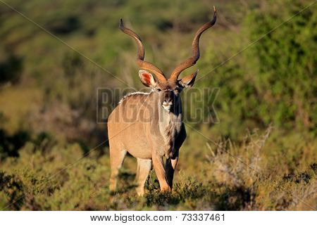 Big amle kudu antelope (Tragelaphus strepsiceros) in natural habitat, South Africa