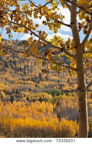 Diseased aspen with autumn colors