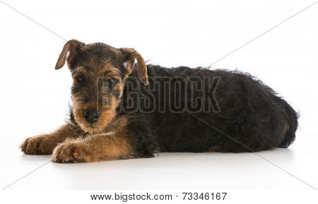 airedale terrier puppy laying down looking at viewer on white background