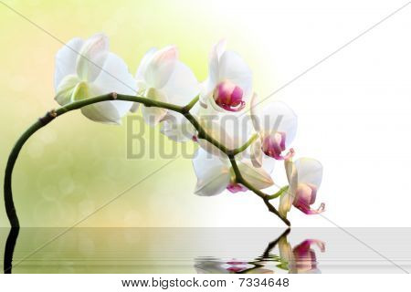 White Orchid With Reflection