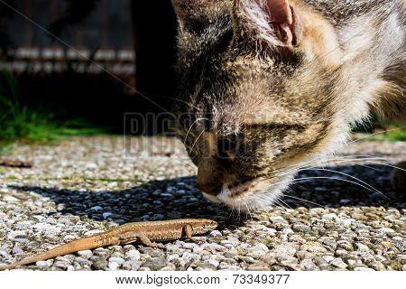 Cat Smelling A Lizard