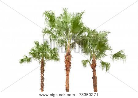 Palm trees  isolated on white background by the seaside