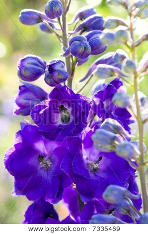 Purple Delphinium Flower
