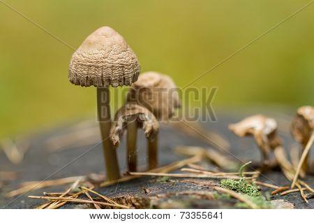 Mushrooms On Stump Macro
