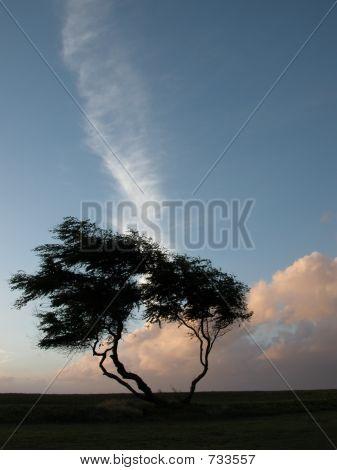 Kiawe Trees